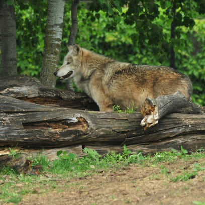 Oshkosh's Menominee Park Zoo Welcomes Four Wolves