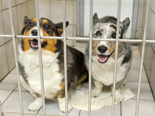 Welsh corgis Cammy and Gus seem to smile out from their