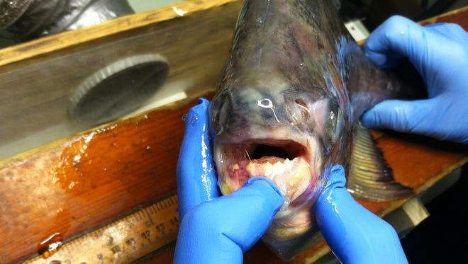 Pacu fish