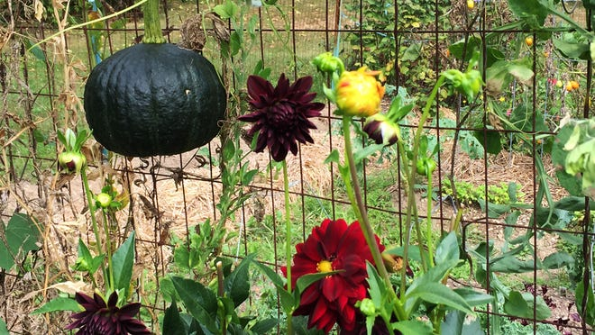 Kabocha squash runs rampant in the garden with the hefty globes dangling from the fence.