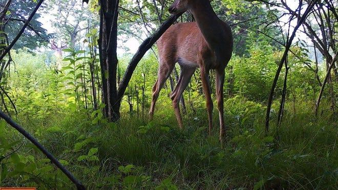 A deer glances behind itself.