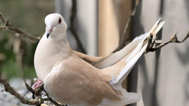This dove is named Abracadabra.
