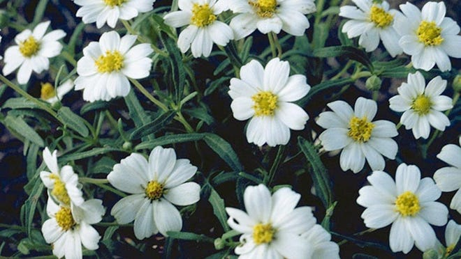 Blackfoot daisy plants will shine in the dark when light falls upon them.