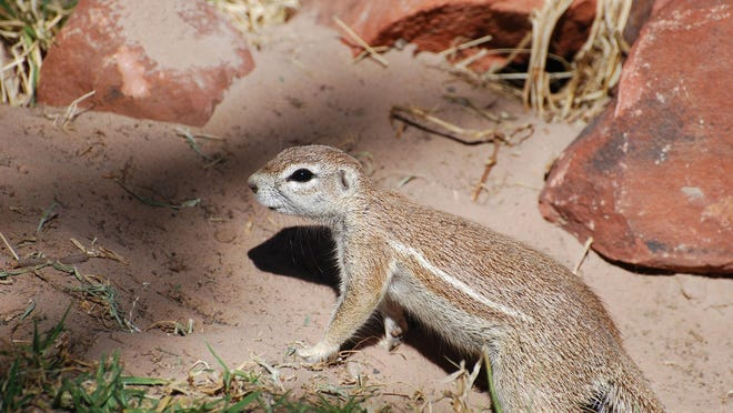The desert is rich in rodent species that naturally burrow under spiny cactus where they are protected from predators.
