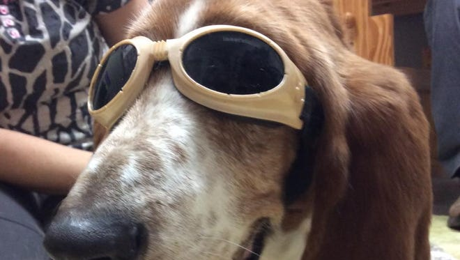 """Shopper writer Heather Robinson's dog Darlene wears """"doggles"""" to protect her eyes when getting laser treatment."""