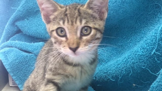 Pixie, a kitten available for adoption through Caring Fields Felines