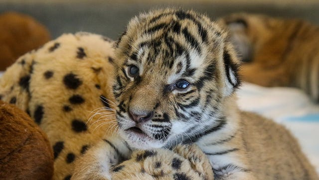 A Malayan tiger cub at the Cincinnati Zoo.