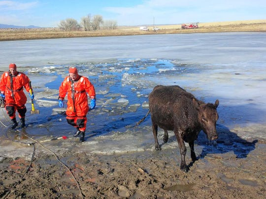 Icy Pond Cow Rescue