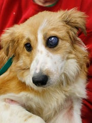 """Nita Pollock of Crystal Creek Kennel holds Graham, a 7-month-old border collie, to show the injury to the dog's left eye. Graham is one of seven border collies taken from breeder Thurman """"Randy"""" Sanders. The damaged eye was removed."""