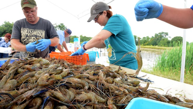 Dana Widener, left, Marrianne Bobo, center, and James Troup sort fresh water prawns by size for packaging in this Sept. 9, 2016, file photo taken at Don's Prawns & More near West Rushville, Ohio.
