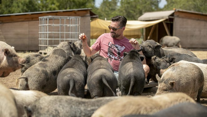 Dan Illescas, a managing member of the Central Texas Pig Rescue near Cedar Creek, feeds carrots to Vietnamese pot-bellied pigs on Monday.