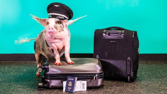 LiLou the pig is the newest member of San Francisco