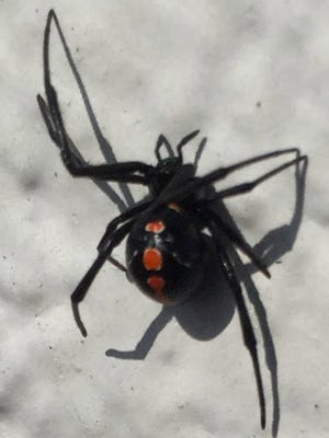 This juvenile black widow spider was found inside an Evansville home.