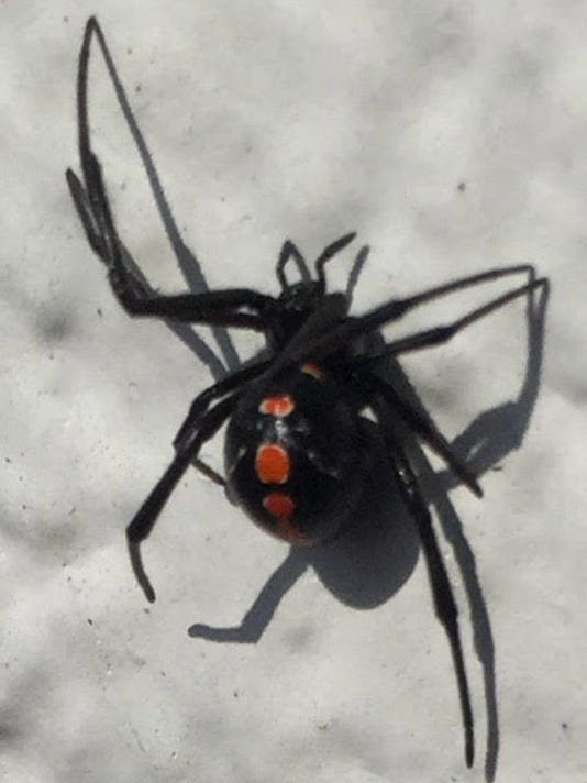 heatwave extreme heat means more black widows indoors