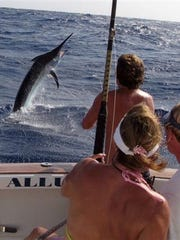 A past fun day was captured visually, as seen here, when those on board were backing down on Candy's trophy Pacific Black Marlin on the Great Barrier Reef.