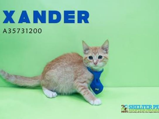 Xander is a 4-month-old male Yellow Tabby. Isn't he