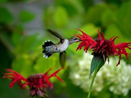 Female Ruby Throated hummingbird in Burlington.
