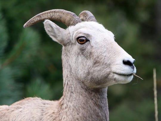 A bighorn sheep ewe munches grass.
