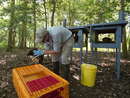 Ryan Ranalli, a seasonal biological aid with Delaware Mosquito Control, places sentinel chickens into a raised pen in order to keep track of the West Nile virus near Milford.