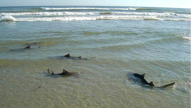 Lemon sharks find a home at Cape Canaveral Air Force Station.