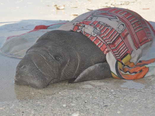 The male manatee is believed to be between a few days