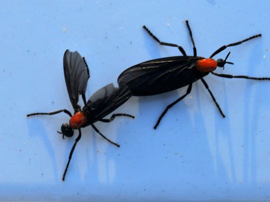 Love bugs seem to swarm along highways early summer