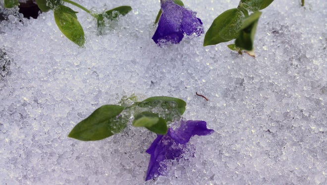 Ground cover flowers in a garden in Yonkers, are surrounded by ice after an overnight snowfall, April 16, 2014.