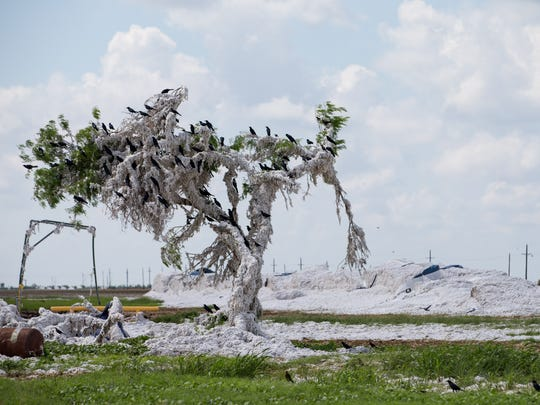 Damaged cotton lines a tree in Bayside Richardson Co-Op Gin's field one month after Hurricane Harvey, on Friday, Sept. 22, 2017. The gin's specialized equipment was damaged in the hurricane and will not be able to be fixed before the end of this ginning season.