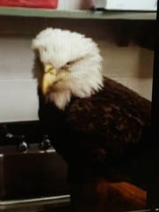 This injured bald eagle was rescued by Wicomico Sheriff's