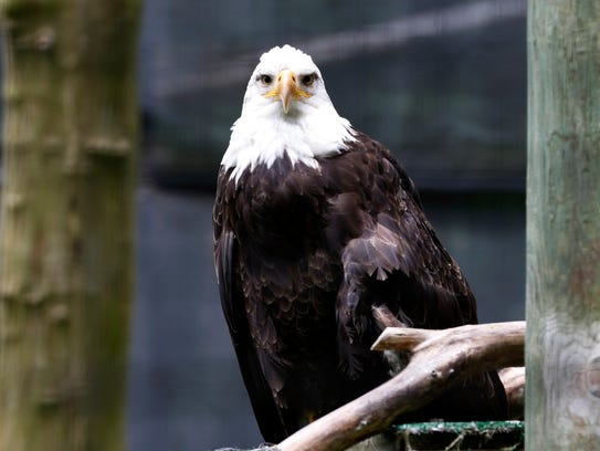 A bald eagle at Lincoln Park Zoo, Manitowoc, on July