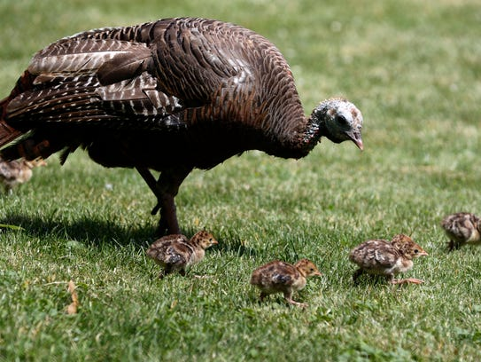 A mother wild turkey walks her chicks at Lincoln Park
