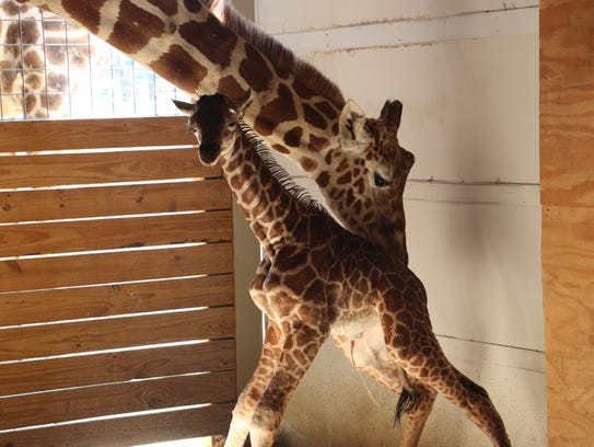 April the giraffe bonds with her newborn calf, Tajiri, at Animal Adventure Park in Harpursville.