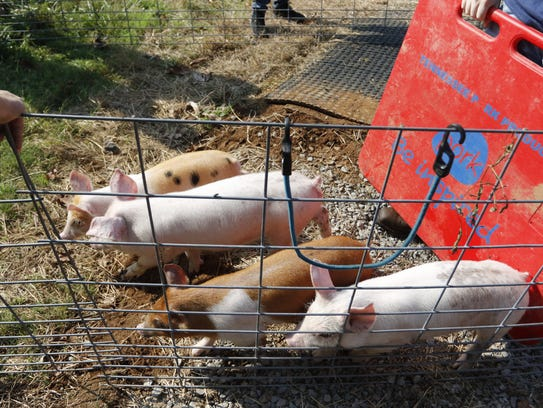 These little piggies were raised on the local farm