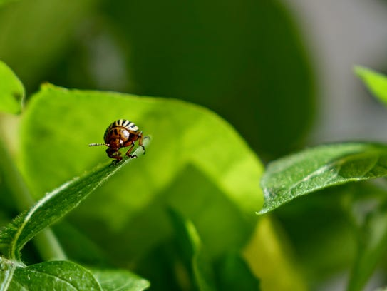The Colorado potato beetle is notorious for its role
