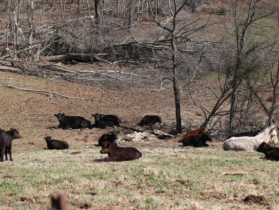 These cows on a farm on Wooten Road in Dotsonville