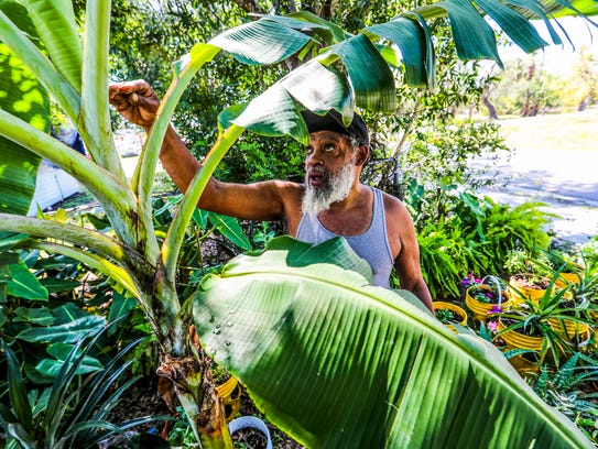 Patrick Caldwell tends to a banana tree at Lazy Man's Garden on Lincoln Boulevard in Fort Myers. The plant nursery raises flowers, fruits and vegetables in five-gallon containers to create instant gardens for people with condos or apartments who aren't allowed to dig in the ground.