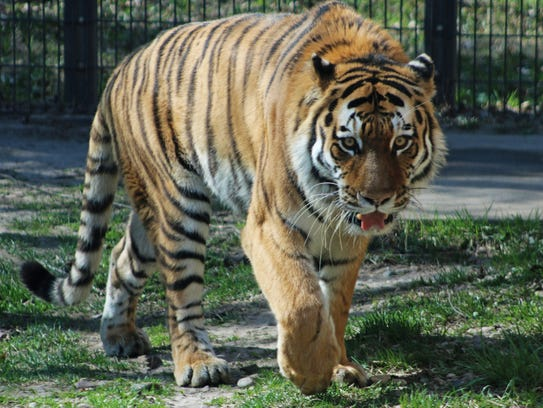 Luka, a 5-year-old Amur tiger, is one of several new animals at the Blank Park Zoo.