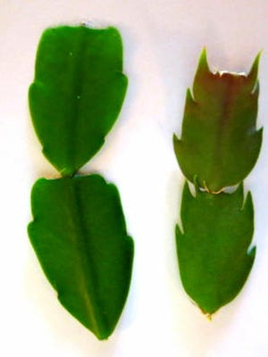 A Christmas cactus is shown, at left, and a Thanksgiving cactus, at right.