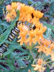 With their yellow, white, and black bands, the monarch caterpillars are easily recognizable.