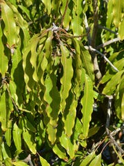 The wilted leaves of a mango tree that isn't producing