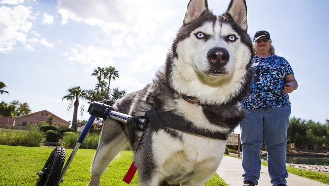 Debbie Stahmer, who fosters Eros, a disabled Siberian Husky, walks the dog in her neighborhood in Mesa, Wednesday, September 13, 2017.  Eros was neglected by his previous owner, being left in a crate for hours, leading to the loss of his hind paw.