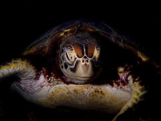 636106056407690339-turtle.jpg