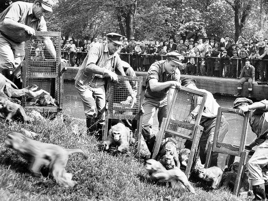 Zookeepers release rhesus monkeys at Washington Park