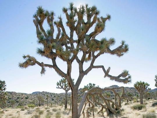 A Joshua tree at Joshua Tree National Park, seen on