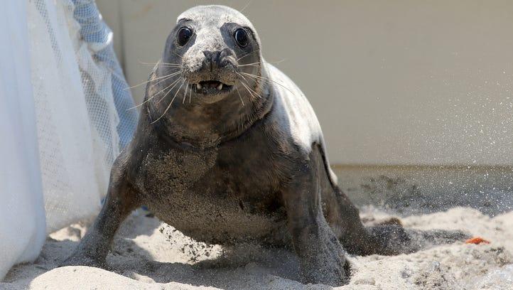 The Marine Mammal Stranding Center release three grey