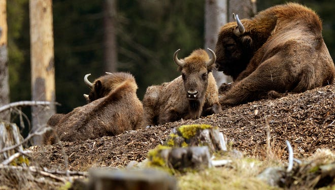European bison also known as wisent,  gather in the woods near Bad Berleburg, Germany in September.