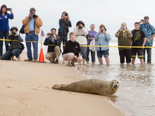 Harbor seal Megatron is released in Ocean City, MD | May 11, 2016