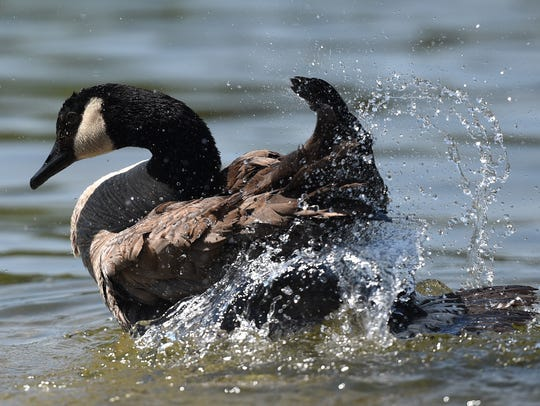 A Canada goose flaps its wings in this file photo.