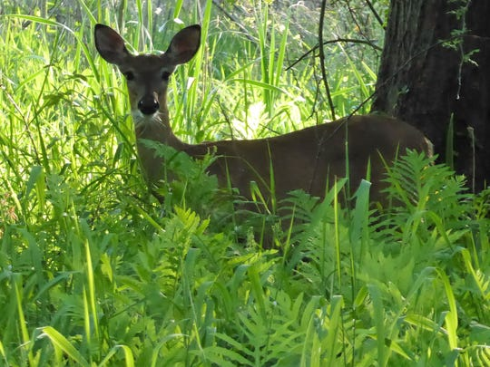 A deer walks through ferns at Wildwood Park.