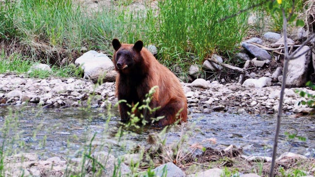 Black bears in New Mexico come in many shades of color and generally do not threaten humans. But when a mother is protecting her cub, a sow can become aggressive.